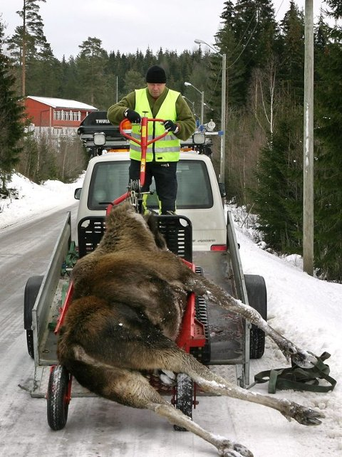 mye å gjøre:Frank Aulie i viltnemnda i Eidskog har måttet tatt hånd om tre elger som er blitt påkjørt den siste uka. Dette bildet er fra Finsrud i 2007. foto: kjell R. hermansen