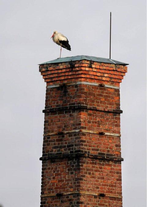 BERØMT gjest: Storken Sture fant seg en fin plass på pipa til trådtrekkeriet på Mustad i går.FOTO: BRYNJAR EIDSTUEN