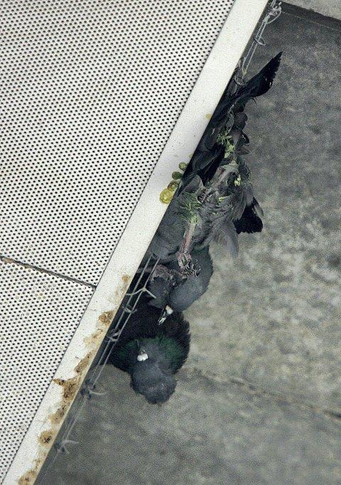 TRAGEDIE: Tre duer har satt seg fast og lidd en smertefull død.