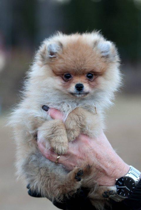 Yngst: Ulla er den yngste i flokken av Pomeranian hunder på tur på Eiktunet. Bjørg Graatrud eier hunden.