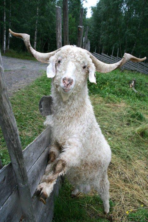 bukken bruse: Denne karen er bare ett av mange dyr du kan møte på Snilsberg. Du kan også påtreffe påfugler og lamaer. arkivbilde