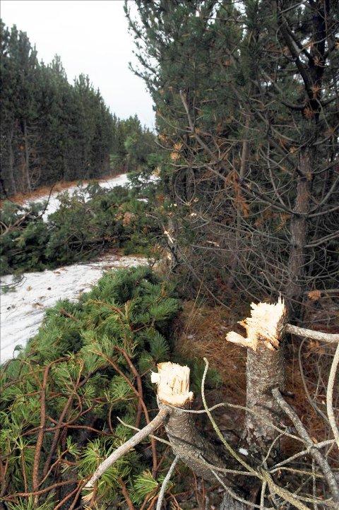 Trestubber: Vandalene har gått løs på trærne med ukvass øks.  Foto: Bjørn A. Hansen
