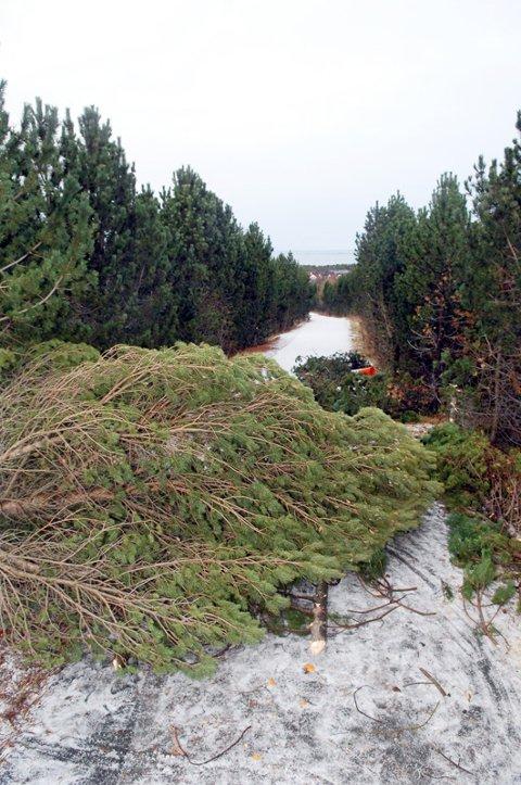 Sperret: Gangveien mellom Torvhaugan og Løkkemyra var sperret av nedhogde trær. Foto: Bjørn A. Hansen