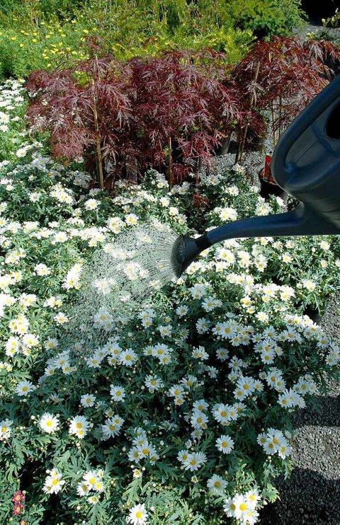 Favoritt: Margeritter er en av favorittene på mordersneglemenyen, og det er viktig å holde området man bruker Nemaslug fuktig også etter middelet er på plass i jorda. Gjerne vanning hver kveld.