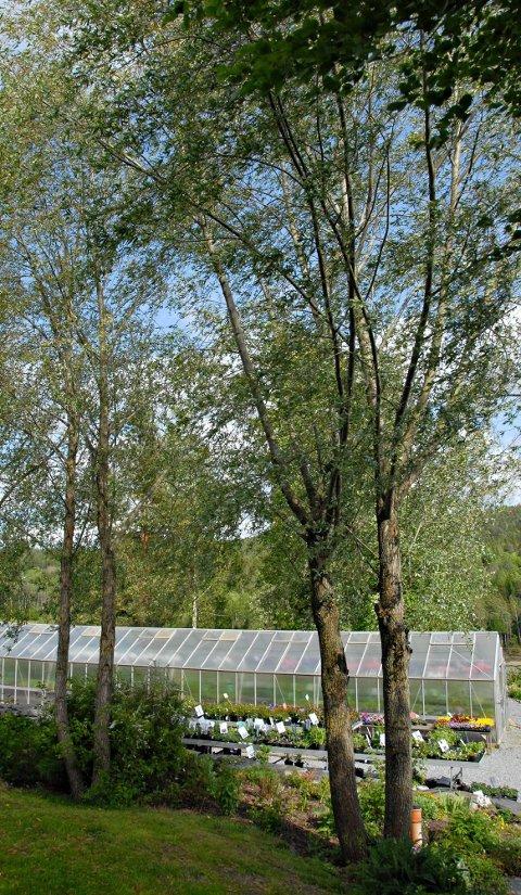 Vokser fort: Disse piletrærne var en gang stiklinger. I bakgrunnen er deler av gartneriet.