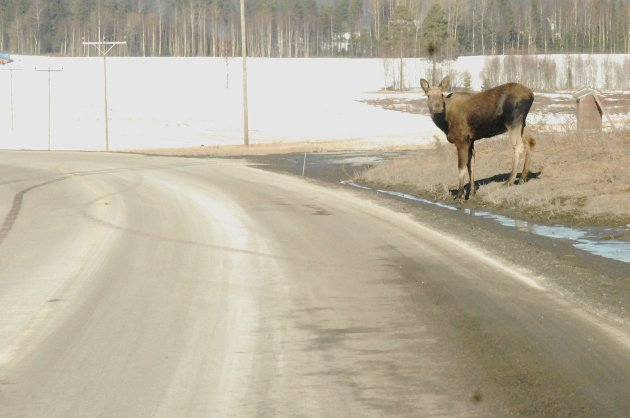 Skogens konge lurer på om det er trygt å krysse veien ved Armoen i Blaker.