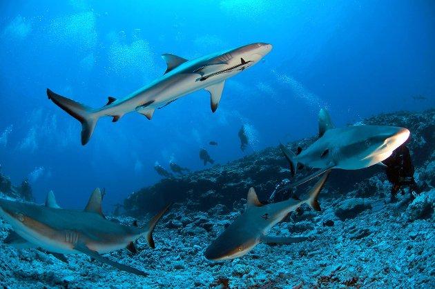 Haiene i Stillehavet er majestetiske vesener.