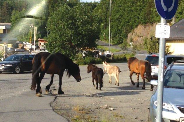 Disse to store hestene, en shetlandsponni og et esel skapte trafikkaos i Tvedexstrand tirsdag morgen.