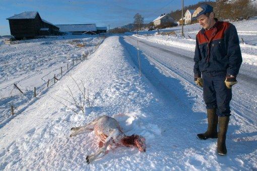Sauen hadde fått dødelige bitt av ulven, men var fortsatt i live da Steig gikk ut av bilen. Han måtte avlive sauen.