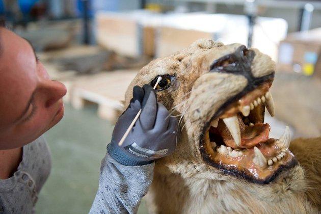 Konservator Madelein Arnoldsson bruker q-tips og en blanding av vann og etanol til å vaske løvens øyne med.