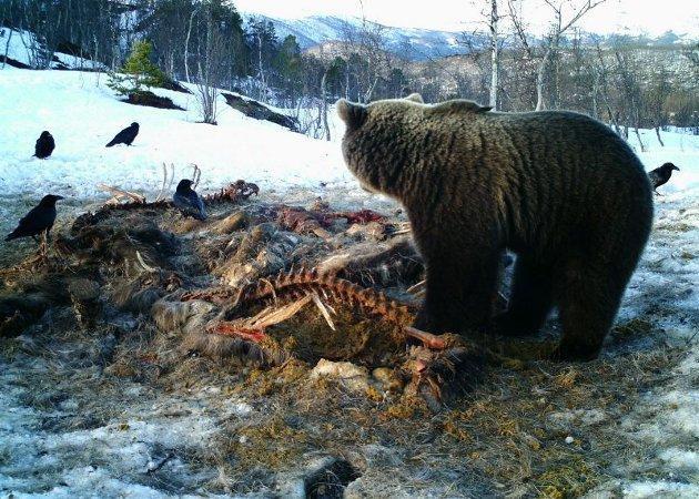 Bjørn i Saltdal