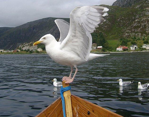 Fisketur i Bremanger, måsane vagla seg på båtripa.