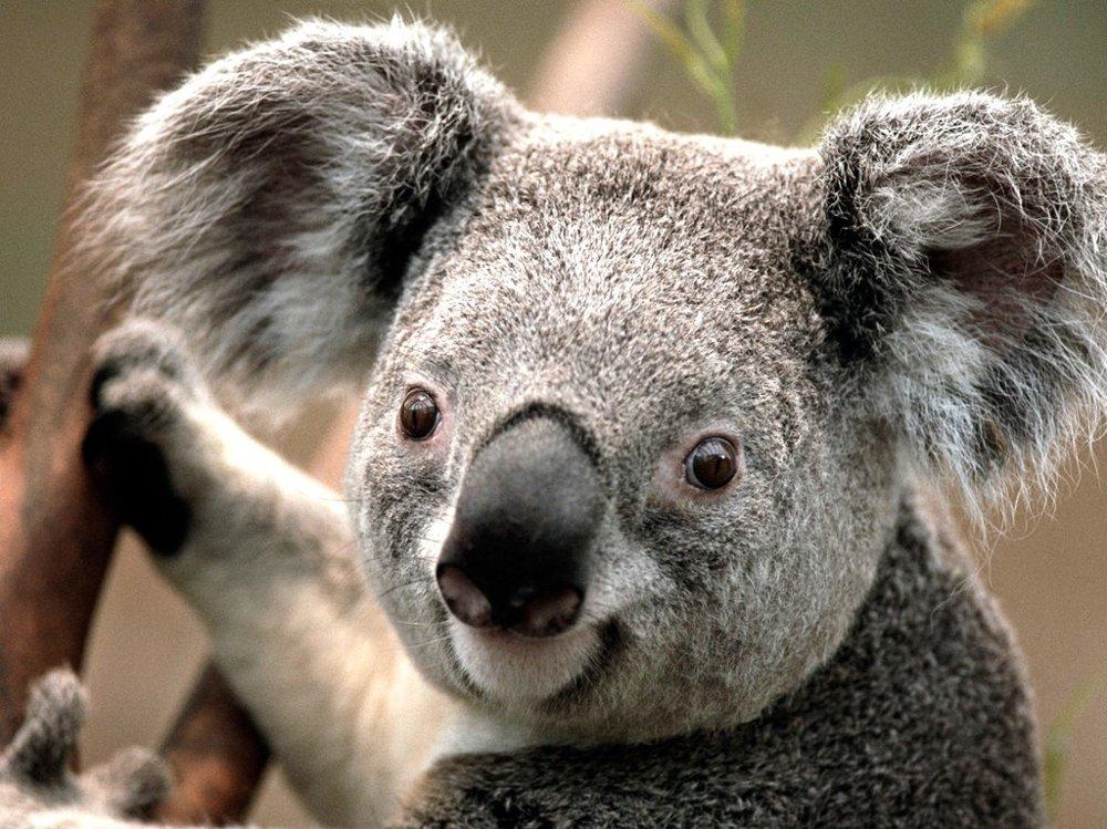 Klikk på bildet for å forstørre. Koala.jpg
