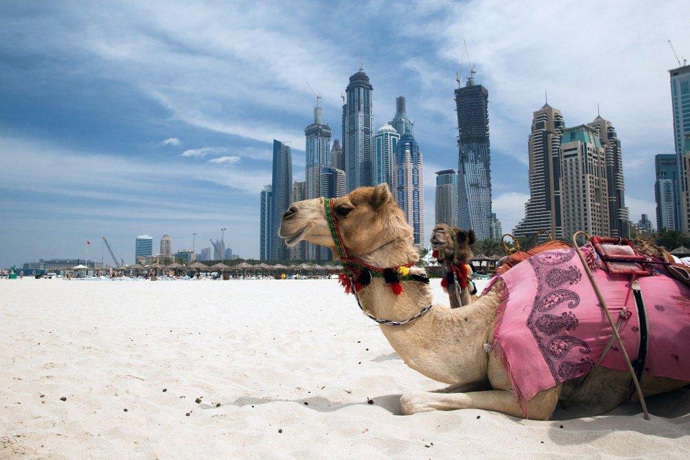 Klikk på bildet for å forstørre. Camel resting outside a city Camel at the urban background of Dubai.