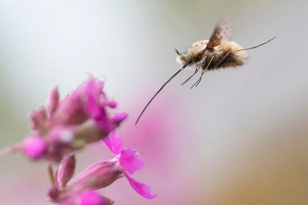 Klikk på bildet for å forstørre. ÅRETS NÆRBILDE: Svenske Rolf Linder vant årets nærbilde med blinkskuddet av denne humlefluen.