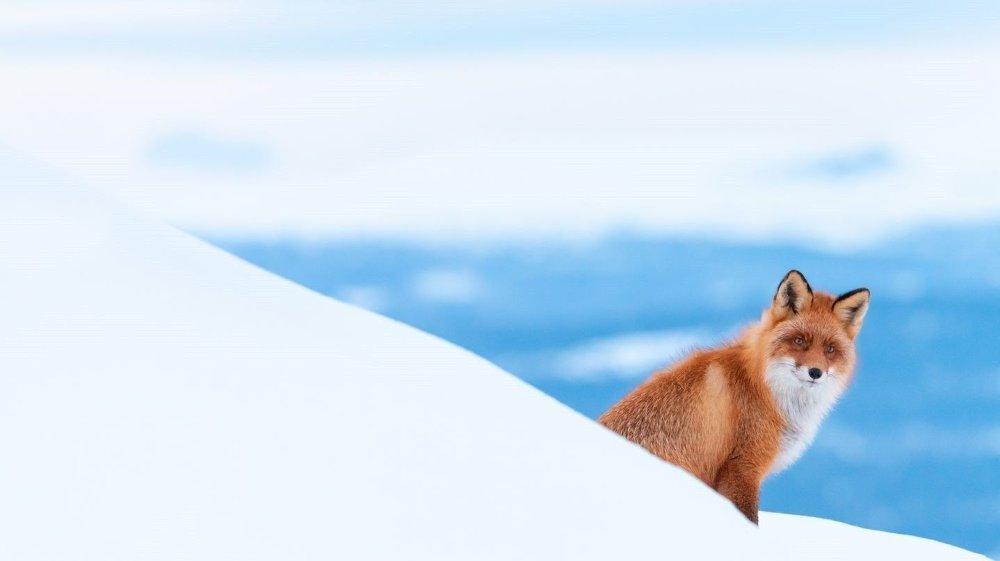 Klikk på bildet for å forstørre. ÅRETS UNGE NATURFOTOGRAF: Norske Tobias Gjerde ble kåret til årets unge nordiske fotograf, blant annet for dette bildet av en rødrev i vinteromgivelser.