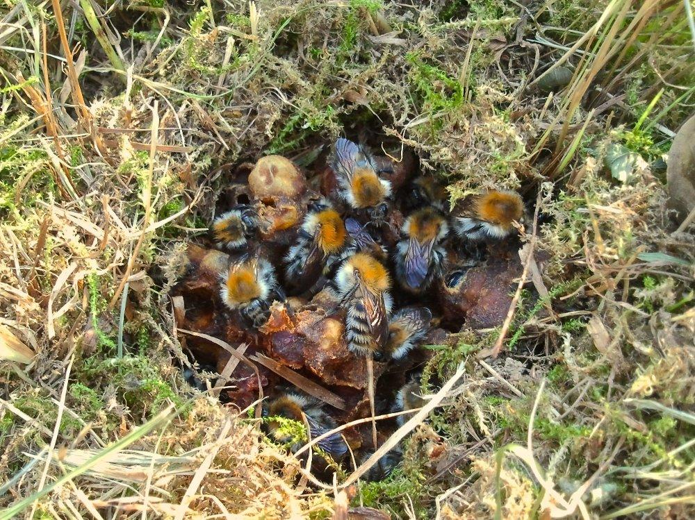 Klikk på bildet for å forstørre. Bolet til åkerhumla ligger svært ofte oppe på bakken i gamle musebol. Men den kan også slå seg ned i fuglekasser. En sjelden gang kan bolet plasseres under bakken eller i husvegger.