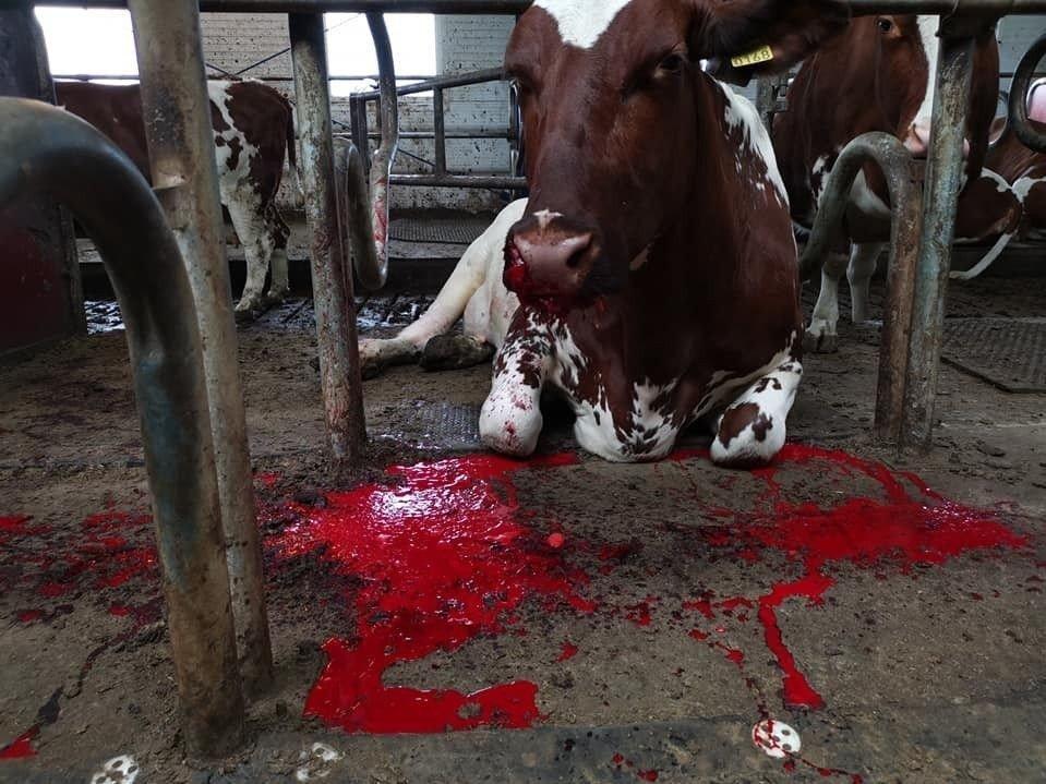 Klikk på bildet for å forstørre. Hele fem ganger har bonden måtte nødslakte dyr etter at de har fått i seg rester av brus- eller ølbokser.