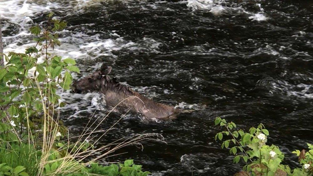 Klikk på bildet for å forstørre. I AKERSELVA: Her kjemper elgen mot vannkreftene.