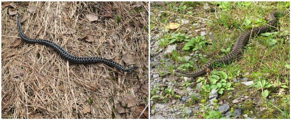 Klikk på bildet for å forstørre. Til venstre en hann som oftest er grå og svart og til høyre en hunn som oftest er brun.