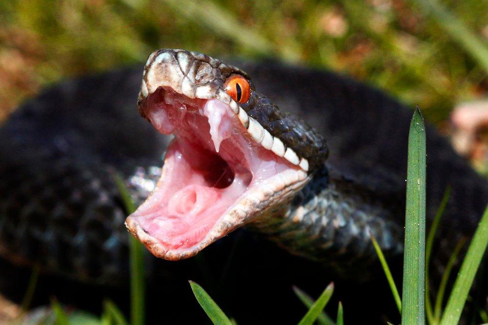 Klikk på bildet for å forstørre. -- OSLO 20110509. Huggorm er en av 3 ormer i norsk fauna og den eneste giftige slangen. Huggormen er fredet i Norge men ikke utryddingstruet.