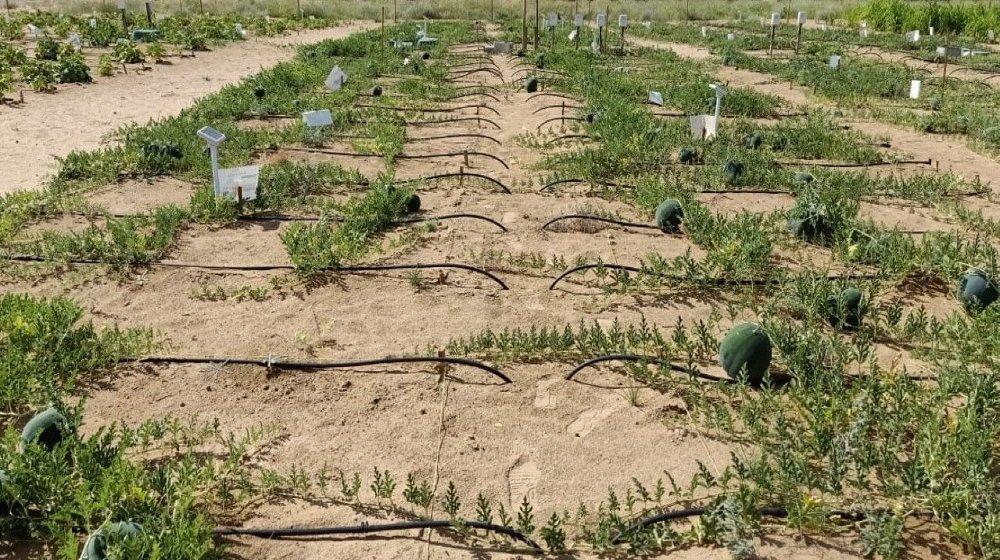 Klikk på bildet for å forstørre. EN MÅNED: Måneden etter at norske Desert Control forlot landet og de lokale forskerne ble satt i hjemmekarantene, hadde ørkensanden blitt forvandlet til matjord.