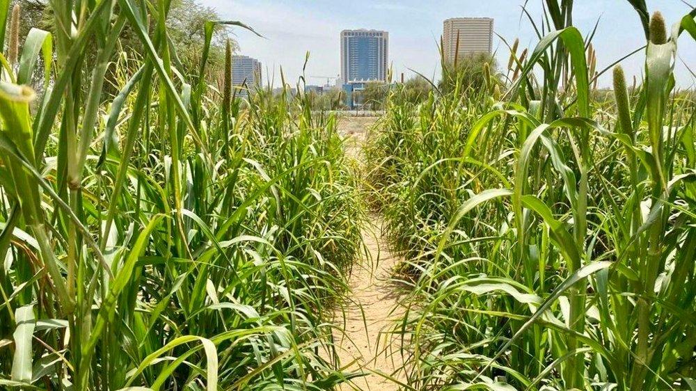 Klikk på bildet for å forstørre. FRODIG: Ørkensand har blitt til grøntområder i Dubai. Nå vil Desert Control fra Stavanger eksportere teknologien til resten av verden.