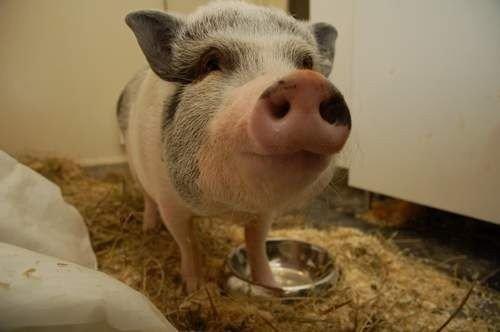 """Ved Dyrenes Hus fryktet de at den tamme grisen """"Knut"""" måtte slaktes. Nå har grisen fått et nytt hjem."""