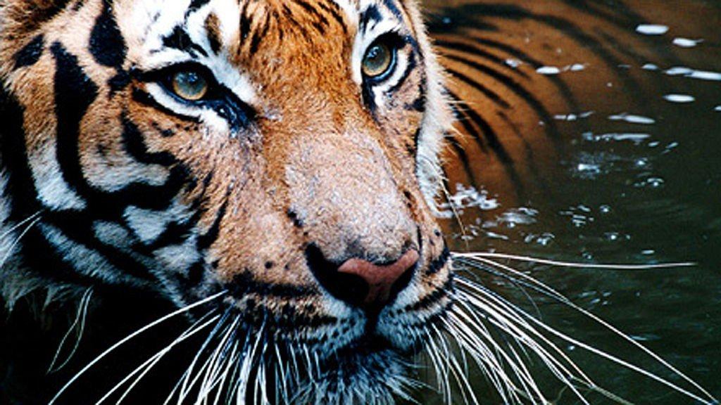 Møt Indias mektige tigere.