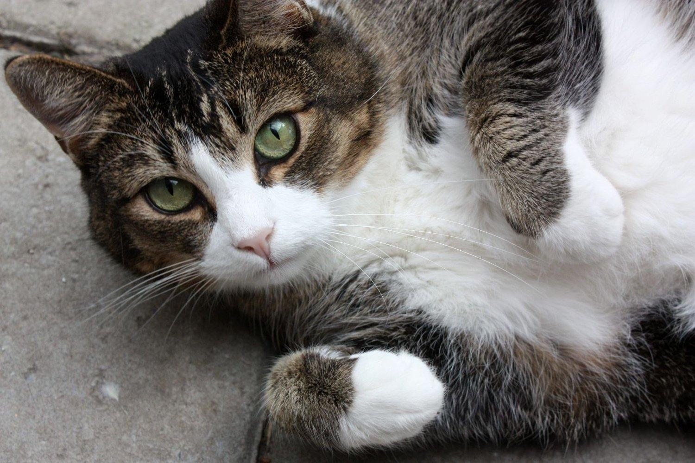 ØNSKER SEG NYTT HJEM: Kikki har det fint sammen med de andre kattene i Dyrebeskyttelsens hjelpesenter, men vil gjerne ha et nytt kjærlig hjem.