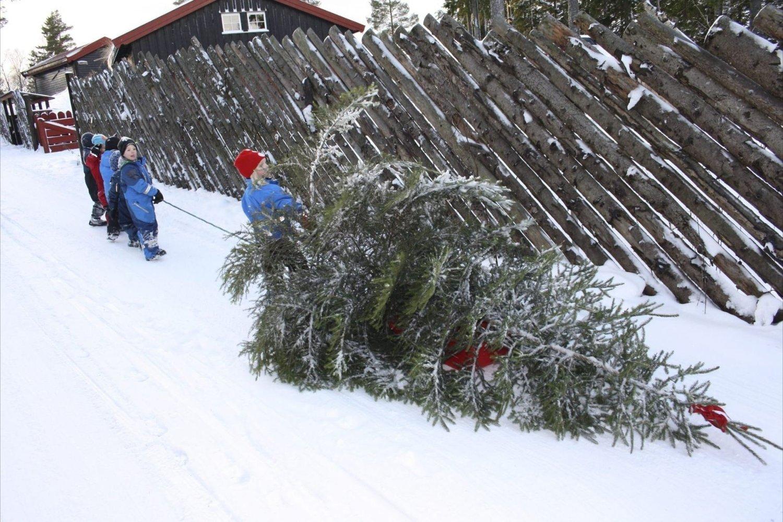 KOMMER IKKE AN PÅ STØRRELSEN: Barna i Turi Sletners barnehave brukte alle krefter på å få juletreet inn til banehagen.