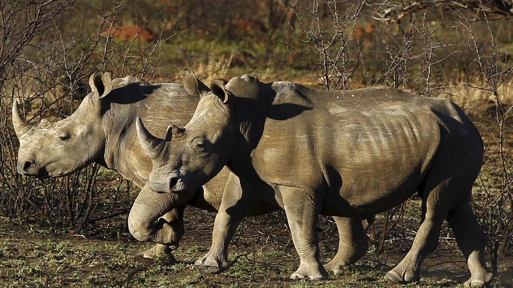 Rhinos are seen at the Mafikeng Game Reserve in the North West province, in this November 11, 2010 file photo. In a last-ditch attempt to save rhinos from extinction, four leading environmental scientists urge legalizing the trade in the endangered animals' horns, since a worldwide ban on this trade hasn't worked.