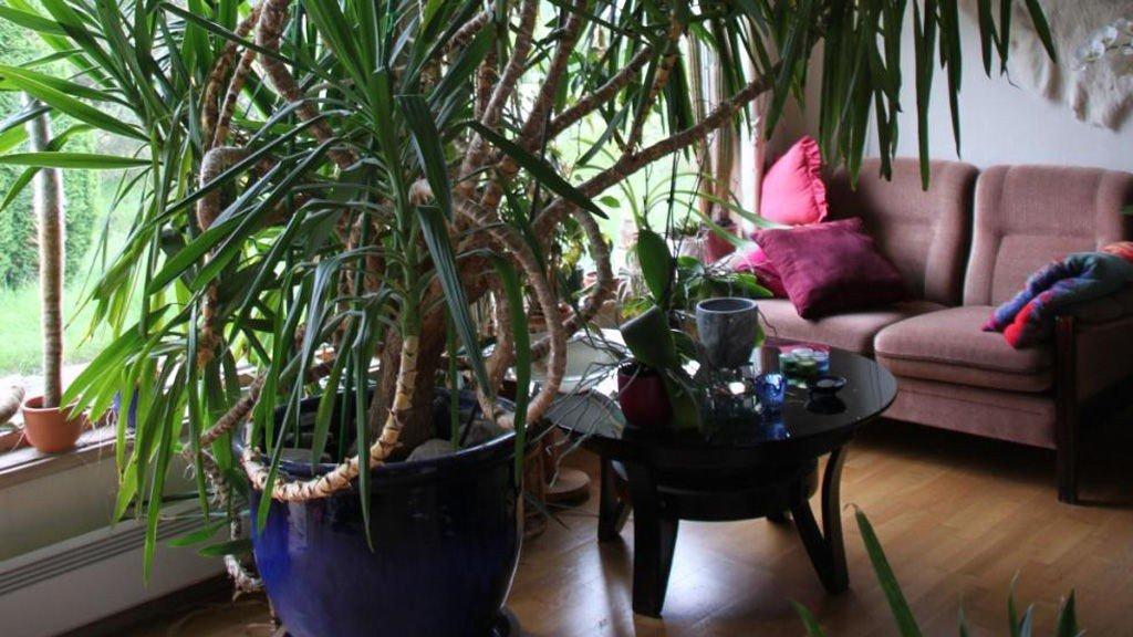 NOK YUCCA NÅ: Palmen har okkupert en betydelig del av Olav og Anne Lovise Kirknes' oppholdsrom. Nå søker de nytt hjem for megaplanten.