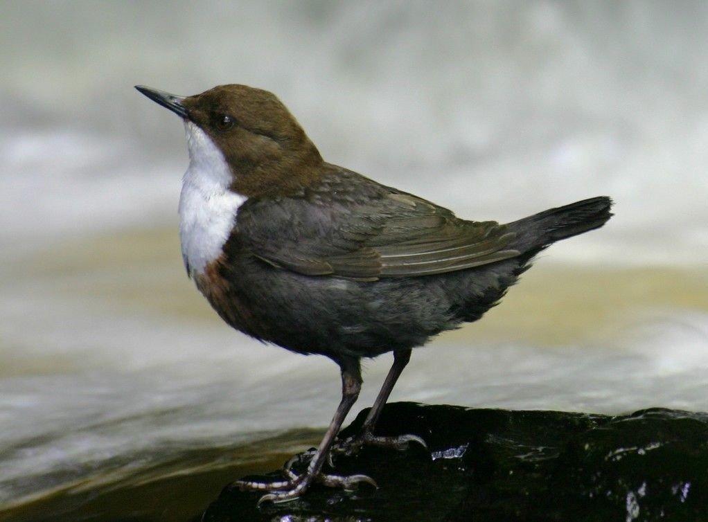 Antallet fugler i Europa er på sterk retur. Her Norges nasjonalfugl Fossekallen. (Eurasian White-fronted Dipper / C Cinclus)