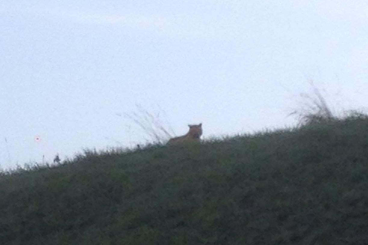 TIGEREN: Her er bildet av tigeren som ble tatt torsdag morgen. Det er ukjent hvor tigeren kommer fra.