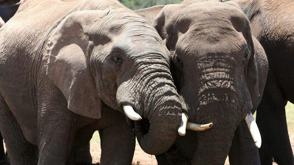 AFRIKANSK ELEFANT: Desom krypskytingen fortsetter, vil den afrikanske elefanten være utryddet innen få tiår, advarer ekspertene.