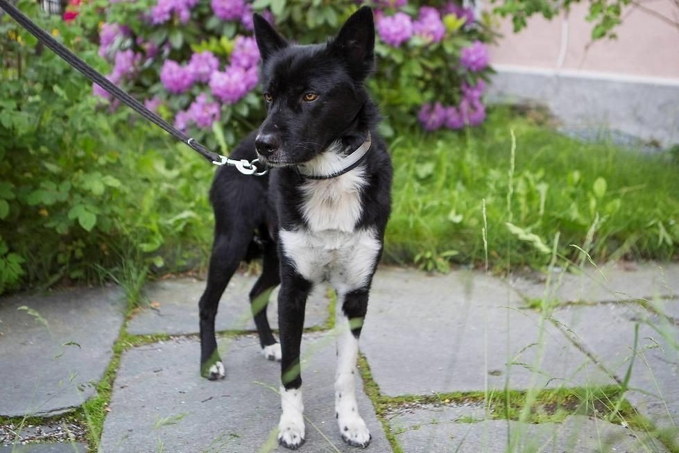 Hunden som drepte katten Opus er en snart fire år gammel Alaska huskey.