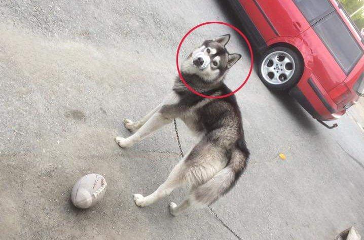 TEIPET IGJEN: Denne hunden ble funnet med gjenteipet snute i en liten bygd i Tromsø onsdag kveld. Den skal ifølge fotografen også ha hatt pigger på innsiden av halsbåndet. Foto: Facebook