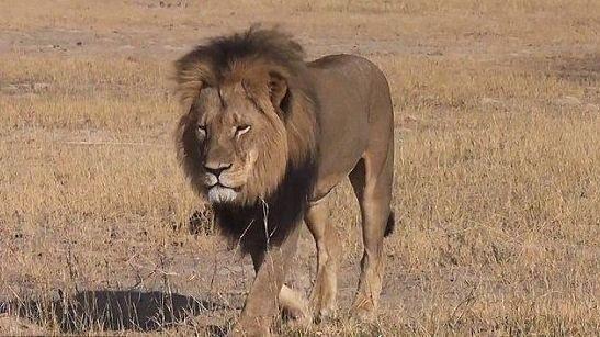 NY LØVEJEGER ANKLAGET: Zimbabwe mener nå at to amerikanske løvejegere har jaktet ulovlig i landet.