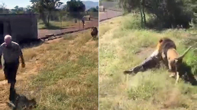 Mike Hodge blir dratt langs bakken flere meter. Løven blir til slutt skutt og dør som falge av skuddskadene.