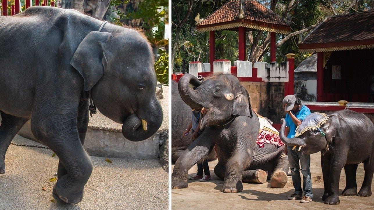 Babyelefanten, som fikk kallenavnet «Dumbo» av dyrevelferdsgruppen Moving Animals skal ha måttet opptre ved Phuket Zoo.