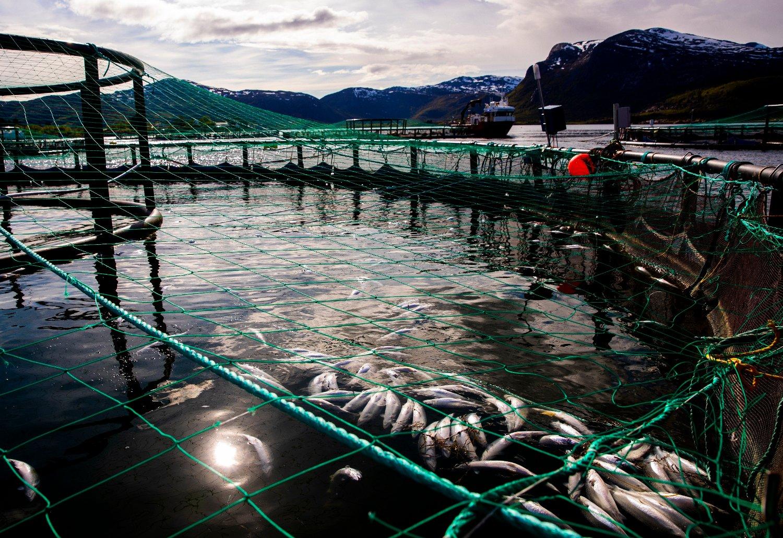 Nær 8 millioner laks er døde som følge av dødsalgene, noe som har ført til milliontap for oppdrettere. Tirsdag ble det funnet død fisk i tre nye anlegg i Troms. Foto: Berit Roald / NTB scanpix