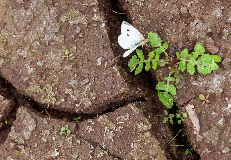 En sommerfugl sitter på en spirende plante i en uttørket innsjø i Tyskland. Hyppigere tørkeperioder kan få store konsekvenser for verdens landbruk. Illustrasjonsfoto: Jens Meyer / AP / NTB scanpix