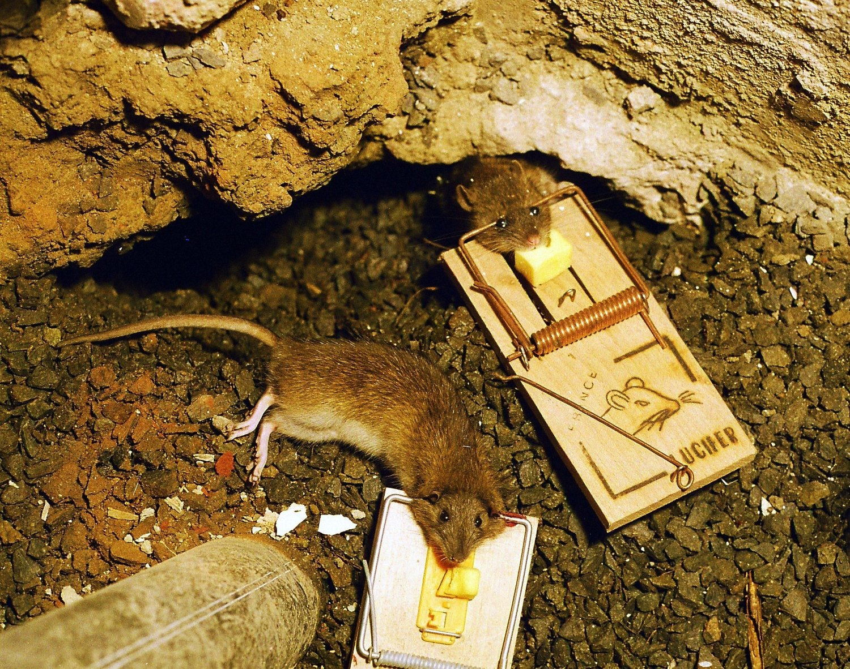 Rotter som har gått i feller.