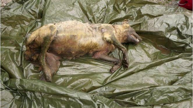 - ALVORLIG: Politiet på Innlandet mistenker at giftig åte er lagt ut i naturen for å ta livet av ulv. Det ansees som alvorlig miljøkriminalitet.