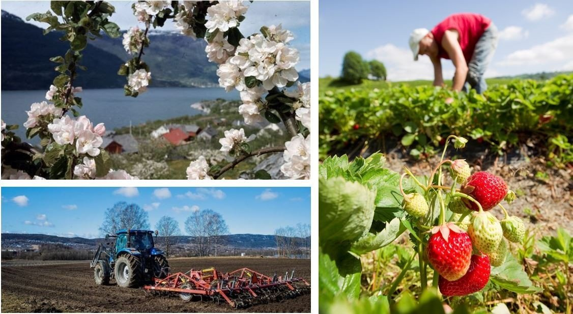 Plukke plommer i Hardanger eller jorddbær i Valldal