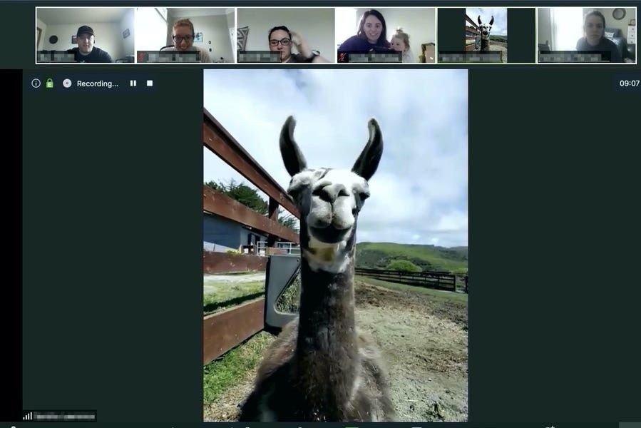 En lama, her med på videokonferanse.