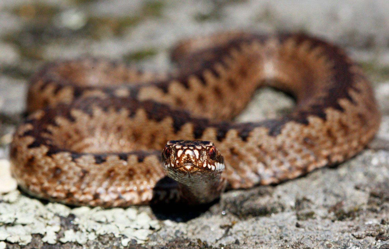 -- OSLO 20110509. Huggorm er en av 3 ormer i norsk fauna og den eneste giftige slangen. Huggormen er fredet i Norge men ikke utryddingstruet.