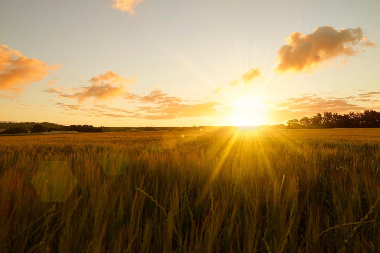 Solnedgang over en kornåker.