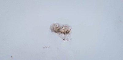 SNØFAST: Disse sauene var snøfaste i Tromsø.